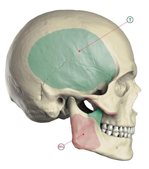 Области прикрепления височной мышцы musculus temporalis
