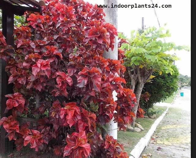 Acalypha Wilkesiana plants picture