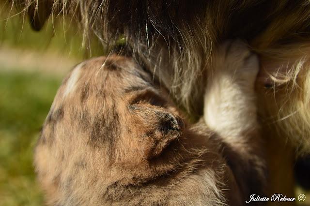 Bébé berger Australien tricolore
