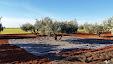Spanish gold. Olive oil / Oro español. Aceite de oliva