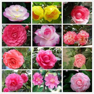 As flores das camélias podem ser separadas em 3 categorias: Simples: as flores possuem apenas um ciclo de pétalas. Semidobradas: as flores possuem mais de um ciclo de pétalas. Dobradas: as flores possuem inúmeros ciclos de pétalas.  Existem mais de 3 000 tipos diferentes de camélias obtidas através do cruzamento de apenas uma espécie, somando-se todas, os números estimados ficam entre 5 000 e 8 000 variedades.