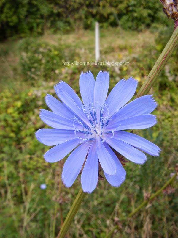http://ilnomedeifiori.blogspot.com/2014/06/cicoria-comune-vivaci-fiori-azzurri.html