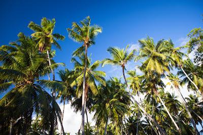 Kokospalmen auf den Seychellen