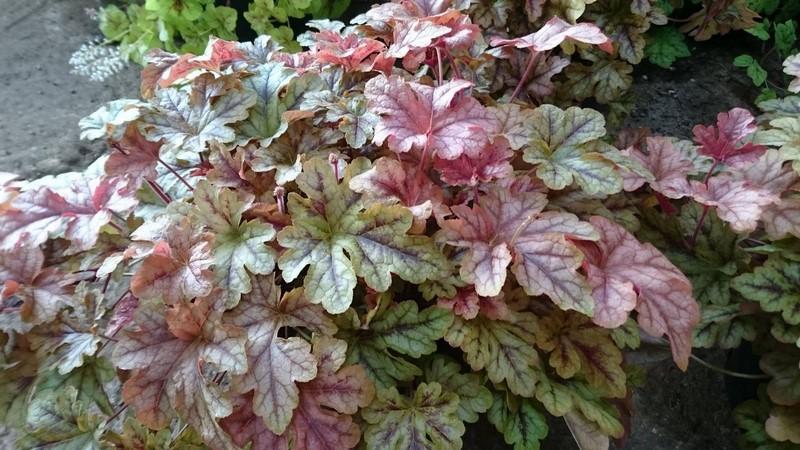 Heucherella Autumn Cascade