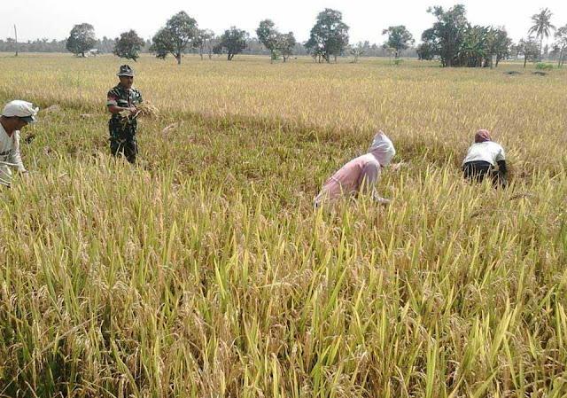 Kopka Sunardi Dampingi Ibu ini Memanen Padi di di Kelurahan Pangkalan Batu Seluas 1 Hektare