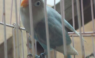 Nyeting Lovebird Yang Suka Ngeruji Trek Ga Jalan