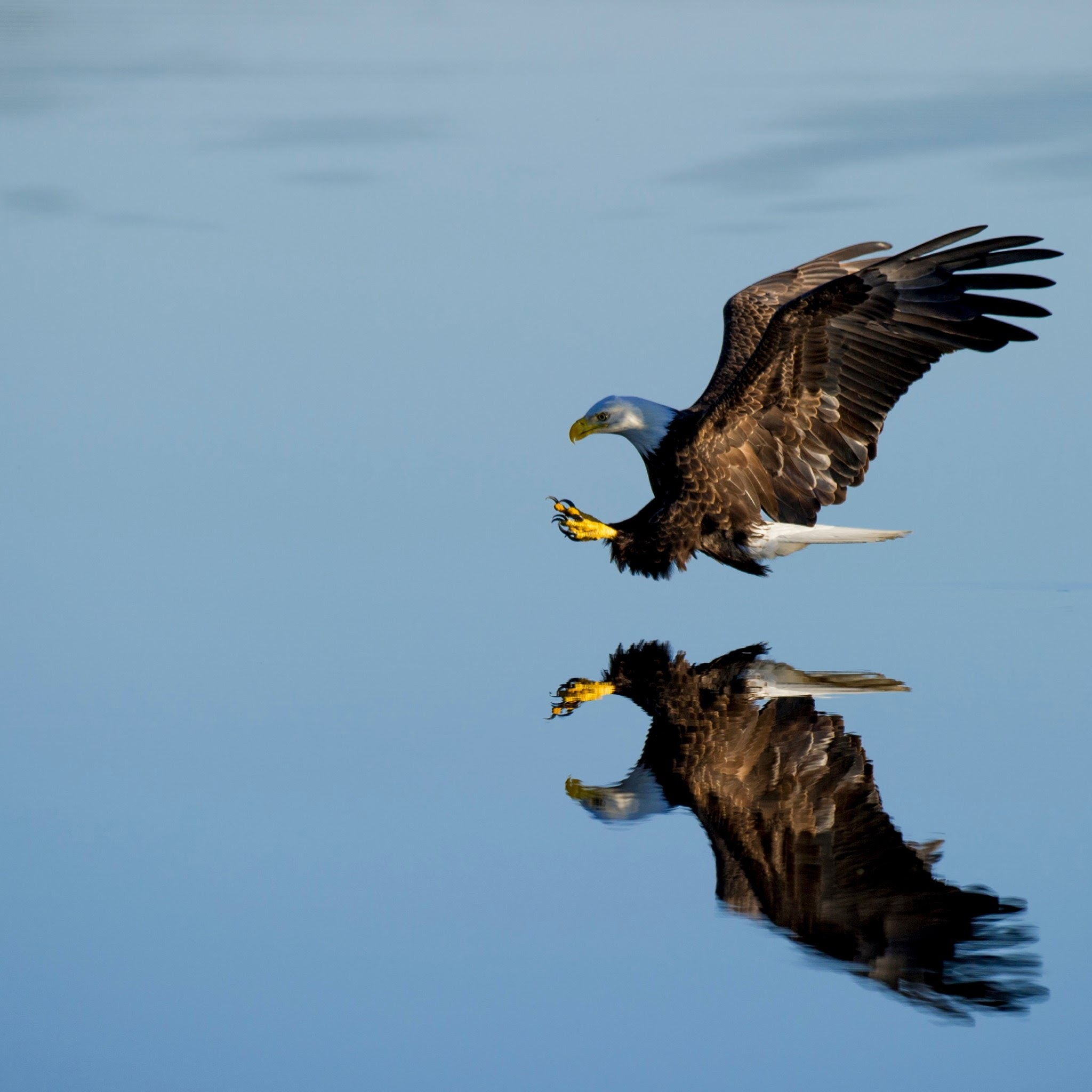 bald eagles hunting