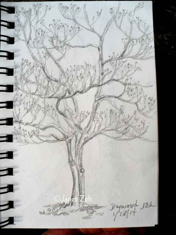 Dogwood tree in winter pencil sketch