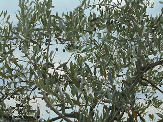 Olives growing for hopeful harvest in November Valleriana