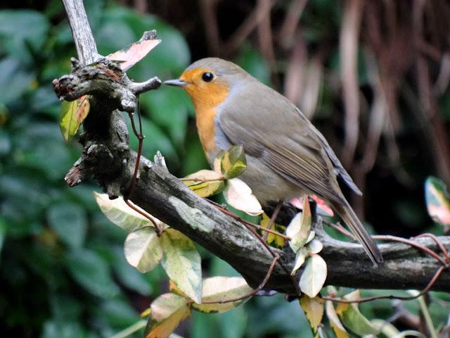 les visiteurs à plumes sauvages - 3 - Page 4 DSC09168