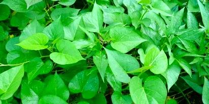 manfaat ubi jalar untuk kesehatan,untuk ibu hamil,jalar ungu,kegunaan daun ubi jalar,khasiat daun ubi jalar,kandungan daun ubi jalar,gizi daun ubi jalar,nutrisi daun ubi jalar,