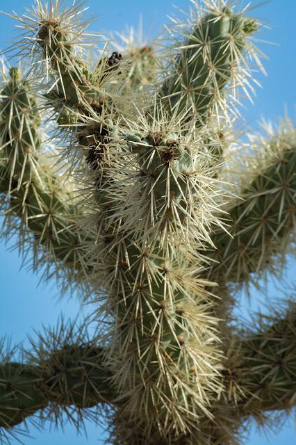 Chain Fruit Cholla, Saguaro National Park