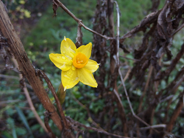 A bright daffodil nestles amongst the decaying stems of Echinops in my winter garden