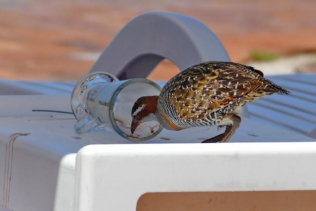 Heron Island Vogel Ralle trinken Glas Verpflegung Hotel Insel Zivilisation