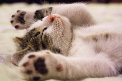 tabby and white cat asleep on its back with paws in the air