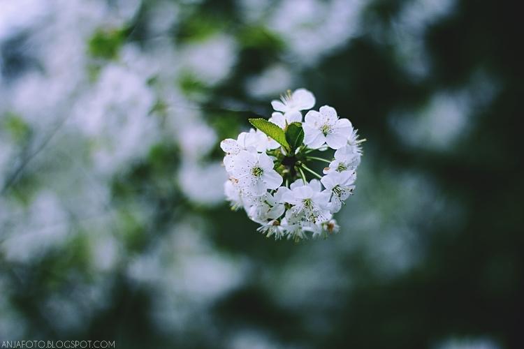 wiosna, bokeh, kwitnąca wiśnia, kwiat kwitnącej wiśni, canon 50 1.4