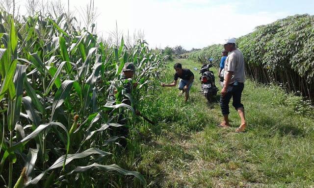 Babinsa Koramil 21/TJ Koptu Sutrisno Dampingi Kelompok Tani Memupuk Tanaman Jagung.