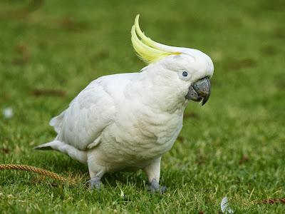 White parrot HD Bird wallpaper