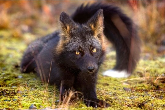 Incredible photographs of the rare silver fox