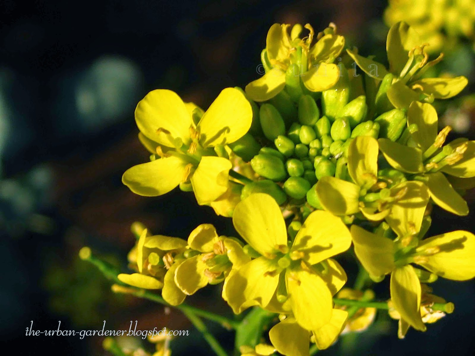 Bright yellow flowers of Pak Choy