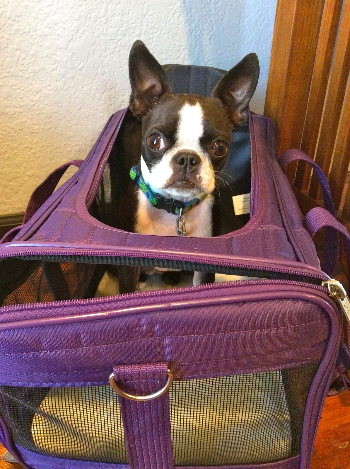 Sinead the Boston terrier in her airplane carrier