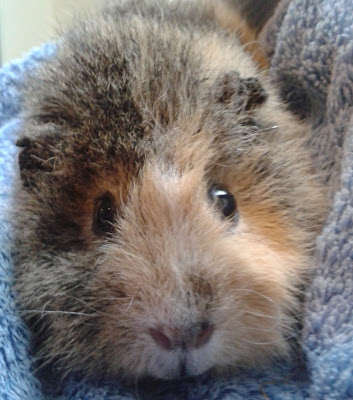 #AdoptDontShop Molly ex breeding Guinea Pig Pets at Home breeding farm
