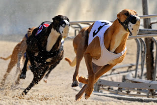 Greyhounds racing at the rail