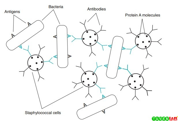 Diagram of coagglutination reaction with whole bacterial cell antigen. A, Antigen.