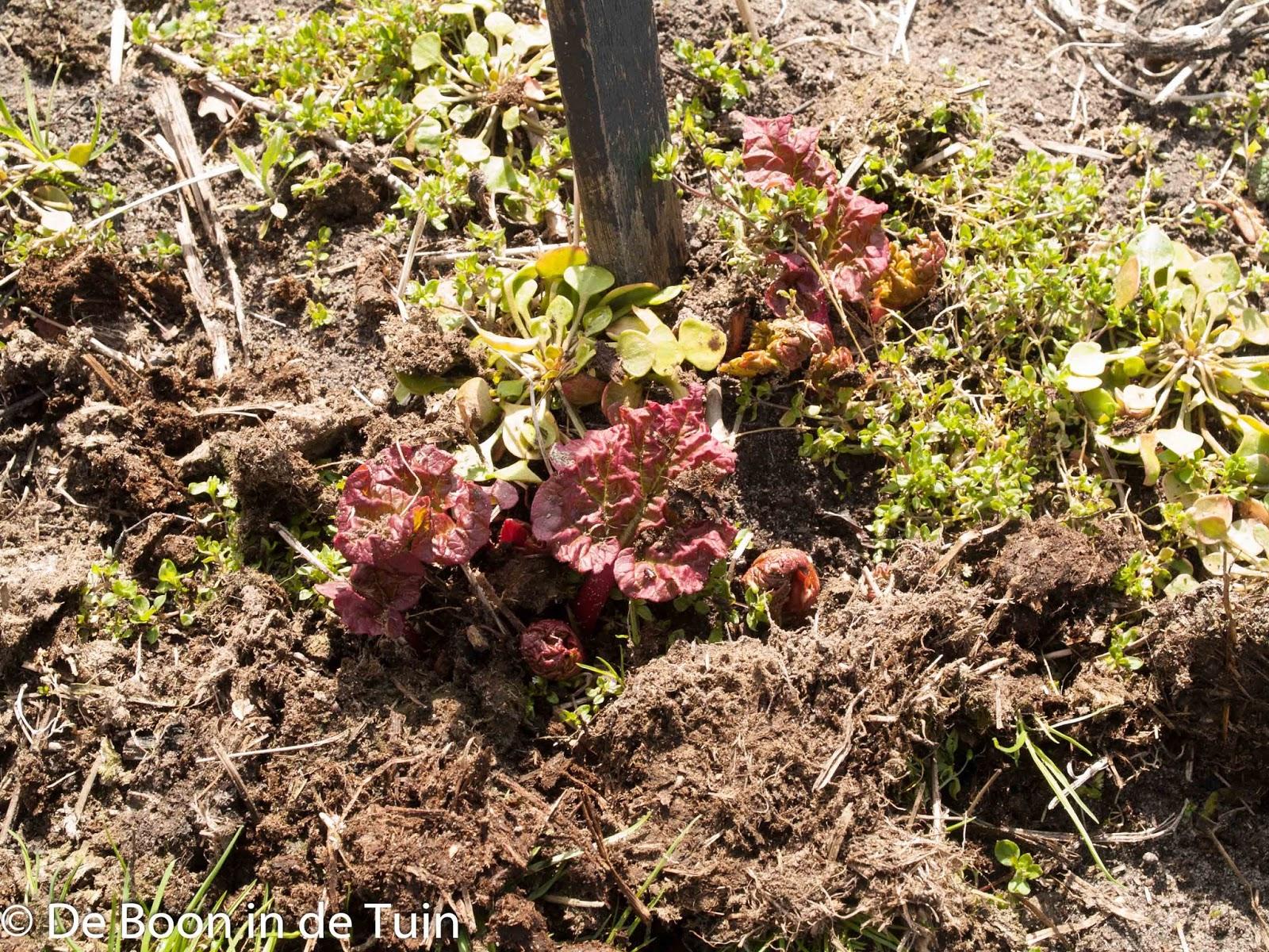 moestuin volkstuin lente voorjaar rabarber knoppen