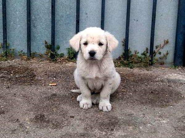 cachorra cruce labrador