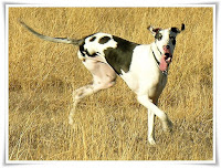 Great Dane Dog Animal Pictures