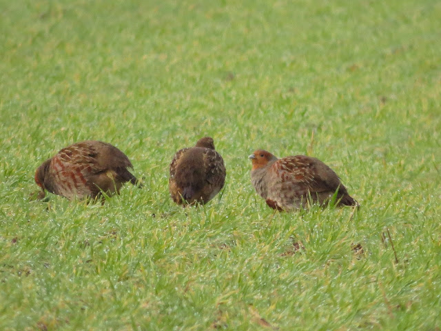 Grey Partridges, Norfolk