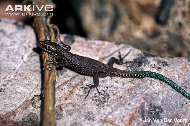 endangered rock lizards