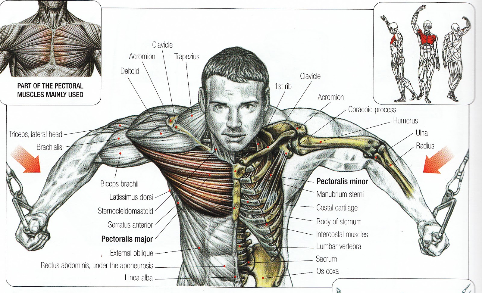 Cable Chest Fly For Beginner