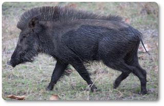 Indian boar photo By JP Bennett - https://www.flickr.com/photos/jpbennett1/5689877064, CC BY 2.0, https://commons.wikimedia.org/w/index.php?curid=35842642