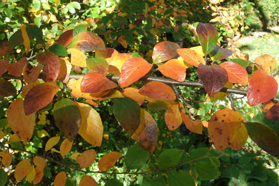 Hedge cotoneaster fall colour by garden muses--a Toronto gardening blog