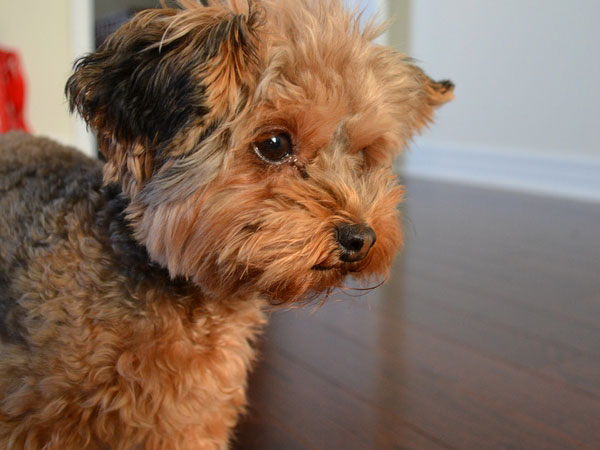 Cute Emo Wallpapers Crazy Pictures Cute Yorkie Poo Pics