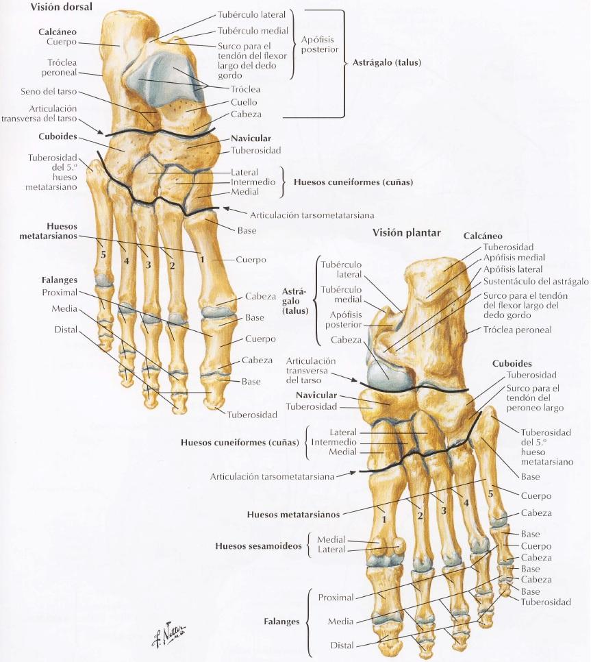 Perfecto Anatomía Hueso Del Pie Foto - Anatomía de Las Imágenesdel ...