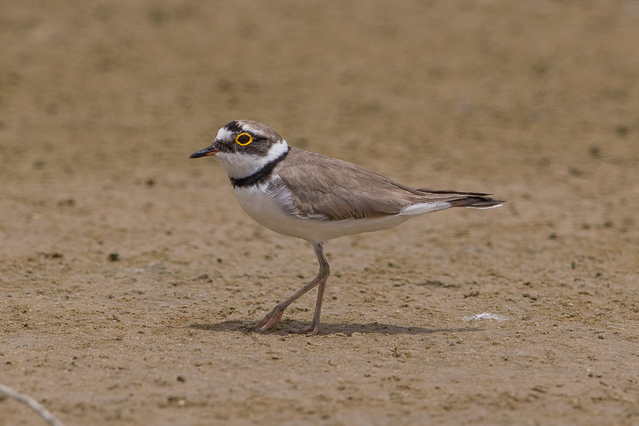 Breeding Little Ringed Plovers – Jubail