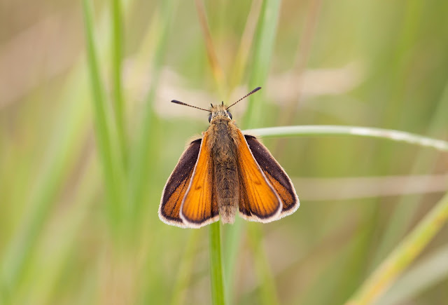 Essex Skipper - Suffolk