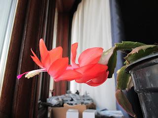 Christmas Cactus bloom