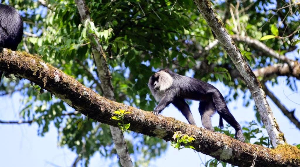 inde tamil nadu macaque à tête de lion