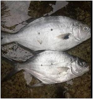 Nama Nama Ikan Laut Dangkal-IKAN TAKING