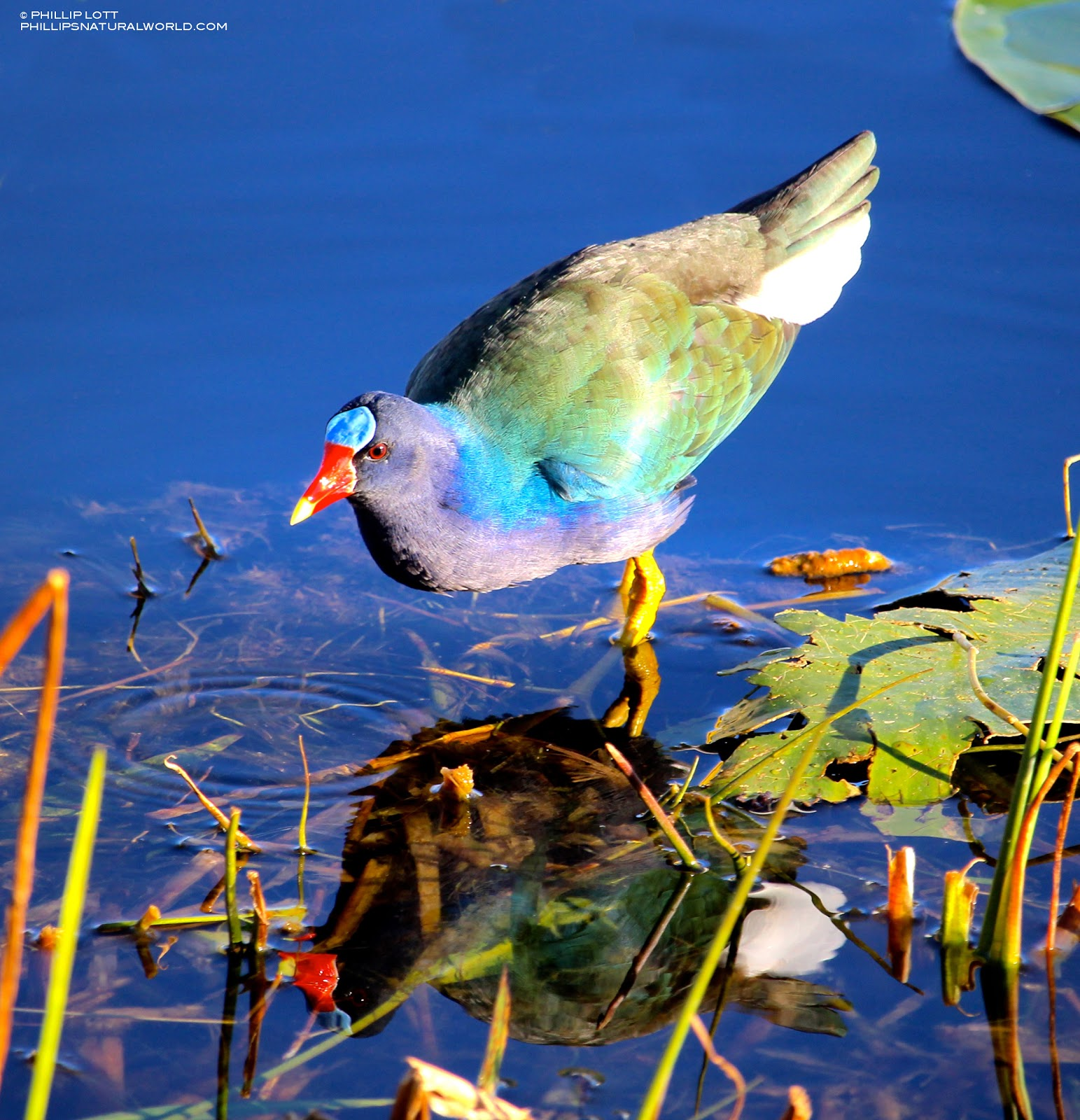 A Beautifully Colored Bird Of Southern And Tropical Wetlands The Purple Gallinule Porphyrio Martinicus Can Be Seen Walking On Top Floating Vegetation