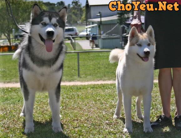 chó Alaska và chó Husky