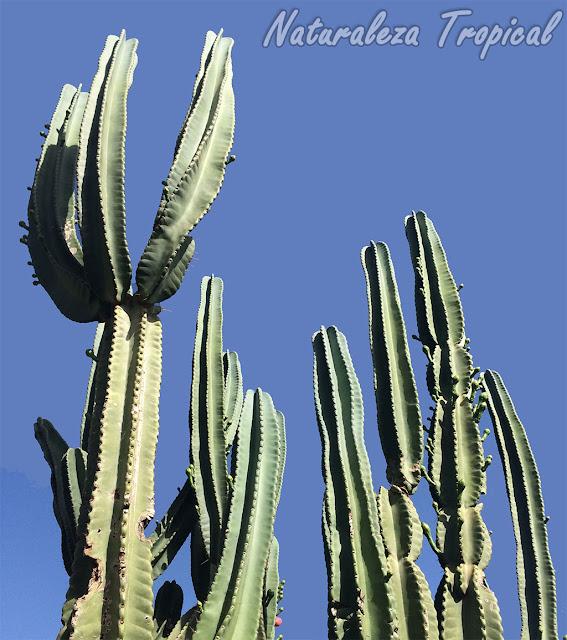 Cereus hexagonus, un cactus ideal para jardines exteriores espaciosos