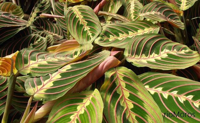 planta de la oración Maranta leuconeura
