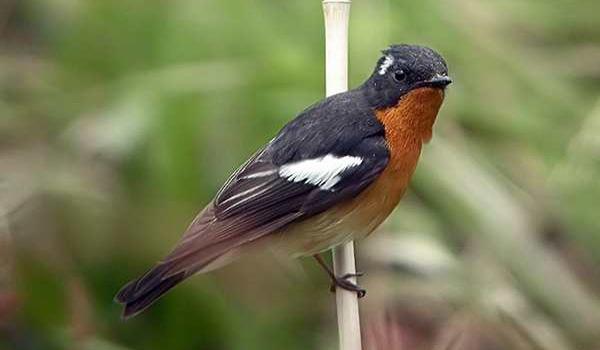 perawatan burung tledekan mabung
