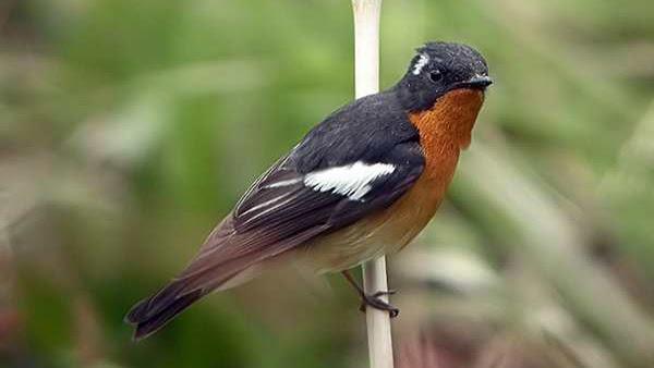 Cara Perawatan Burung Tledekan Sebelum Dan Saat Mabung