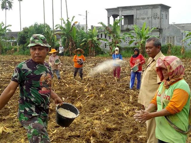 Personil Babinsa Koramil 18/Gl, Serda Syaripudin melaksanakan Pendampingan Pertanian di Desa Keramat Gajah